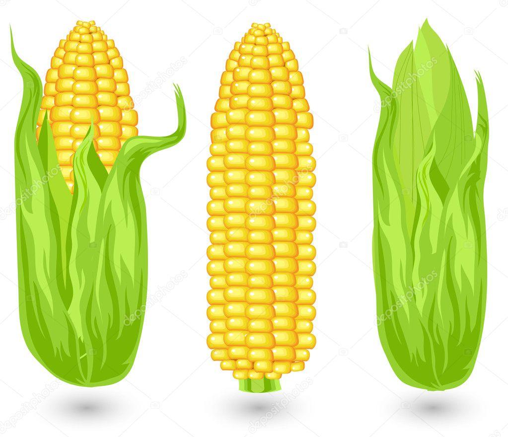 Ears of ripe corn — Stock Vector © creatOR76 #1261418
