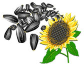 Sunflower and seeds — Stock Vector
