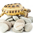 Tortoise on stones — Stock Photo