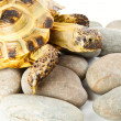 Tortoise on stones - Stock Photo