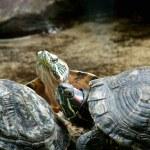 Turtles — Stock Photo #1173107