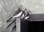 Boom papegaai nimf — Stockfoto