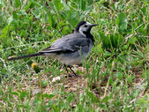 The wagtail — Stock Photo