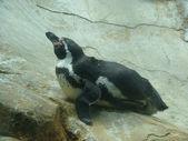 Pingouin — Photo