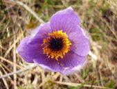 Mountain flower — Stock Photo