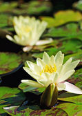 Two lilies on the water surface — Stock Photo