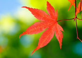 Full-moon maple — Stock Photo