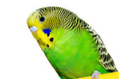 Green and yellow budgie — Stock Photo