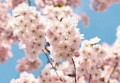 Blossoming tree with pink flowers — Stock Photo