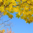 Maple leaves in the blue sky — Stock Photo