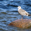 Marine gull sits on stone near sea - Stock Photo