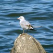 Marine gull sits on stone near sea — Stock Photo