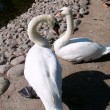 Two white swans — Stock Photo