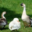 Goose in the countryside - Stock Photo