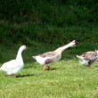 Goose in the countryside — Stock Photo #1505617