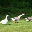 Stock Photo: Goose in the countryside