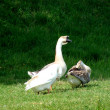 Goose in the countryside — Foto Stock