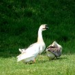 Goose in the countryside — Stock Photo