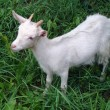 Goats eat grass — Foto Stock #1505639