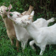 Goats eat a grass — Stock Photo
