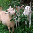 Goats eat a grass — Stock Photo #1505643