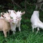 Goats eat a grass — Stock Photo