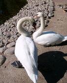 Dvě bílé labutě — Stock fotografie