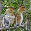 Royalty-Free Stock Photo: Proboscis monkeys