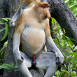 Stock Photo: Proboscis monkey