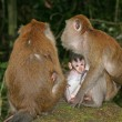 Stock Photo: Macaque monkeys