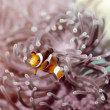 Royalty-Free Stock Photo: Clown anemonefish