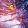 Stock Photo: Clown anemonefish