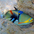 Picasso triggerfish — Stock Photo #1168027