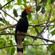 Great Hornbill — Stock fotografie