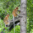 Stock Photo: Proboscis monkeys