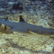Stock Photo: Whitetip reef shark