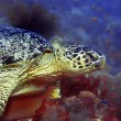 Green turtle — Stock Photo #1169080