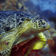 Green turtle — Stock Photo #1169088