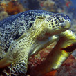 Green turtle — Stock Photo #1169099