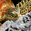 Stock Photo: Green turtle