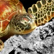 Green turtle — Stock Photo #1169149