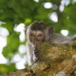 Macaque monkey — Stock Photo #1169289
