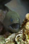 Giant moray eel — Stock Photo