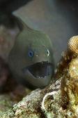 Giant moray eel — Stock Photo