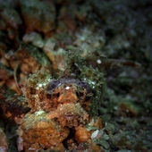 несовершеннолетних бородатый скорпион — Стоковое фото