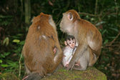 Macaque monkeys — 图库照片