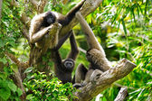 Gibbon monkeys — Stock Photo