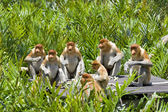 Proboscis monkeys — Stock Photo