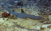 Whitetip reef shark — Stock Photo