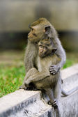 Macaque monkeys — Stockfoto